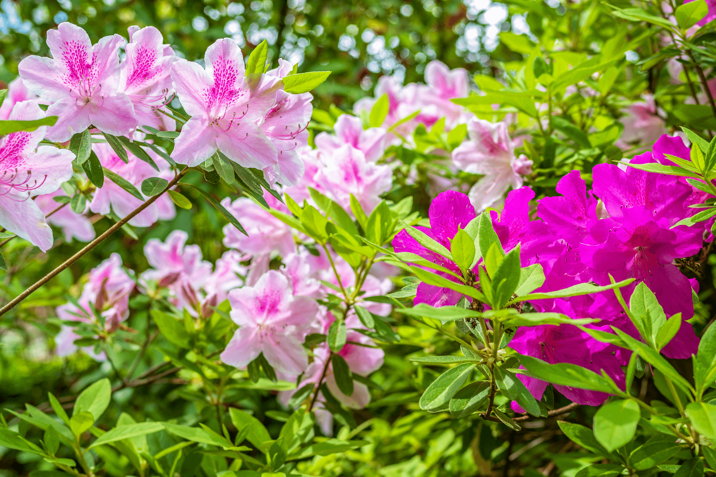 The  George Tabor Azalea  is a hybrid plant producing lovely flowers. It not just very beautiful but also very sun and heat tolerant.