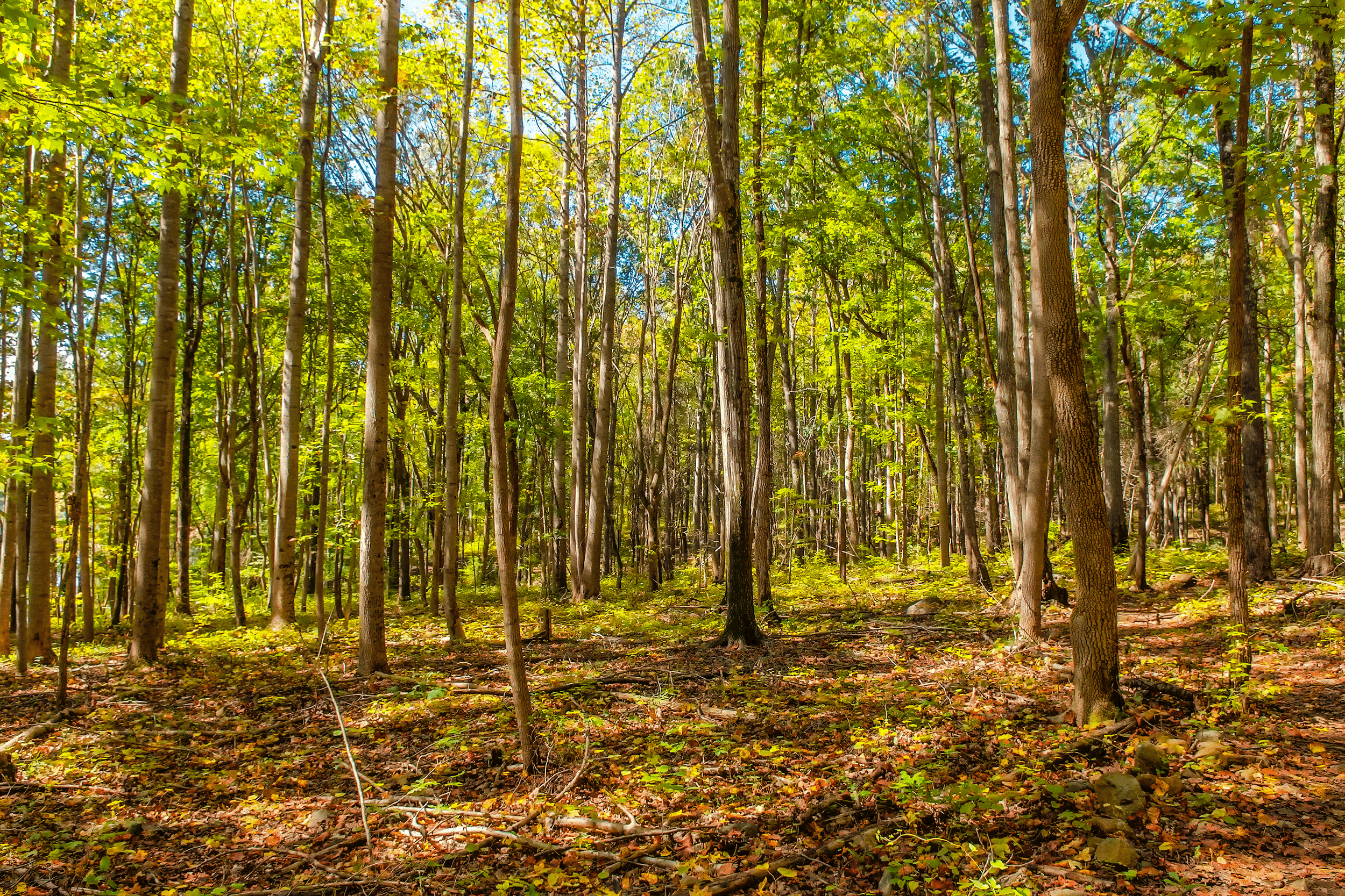 The mature hardwood forest along  Split Rock Trail  makes for an excellent canopy in the summer heat.