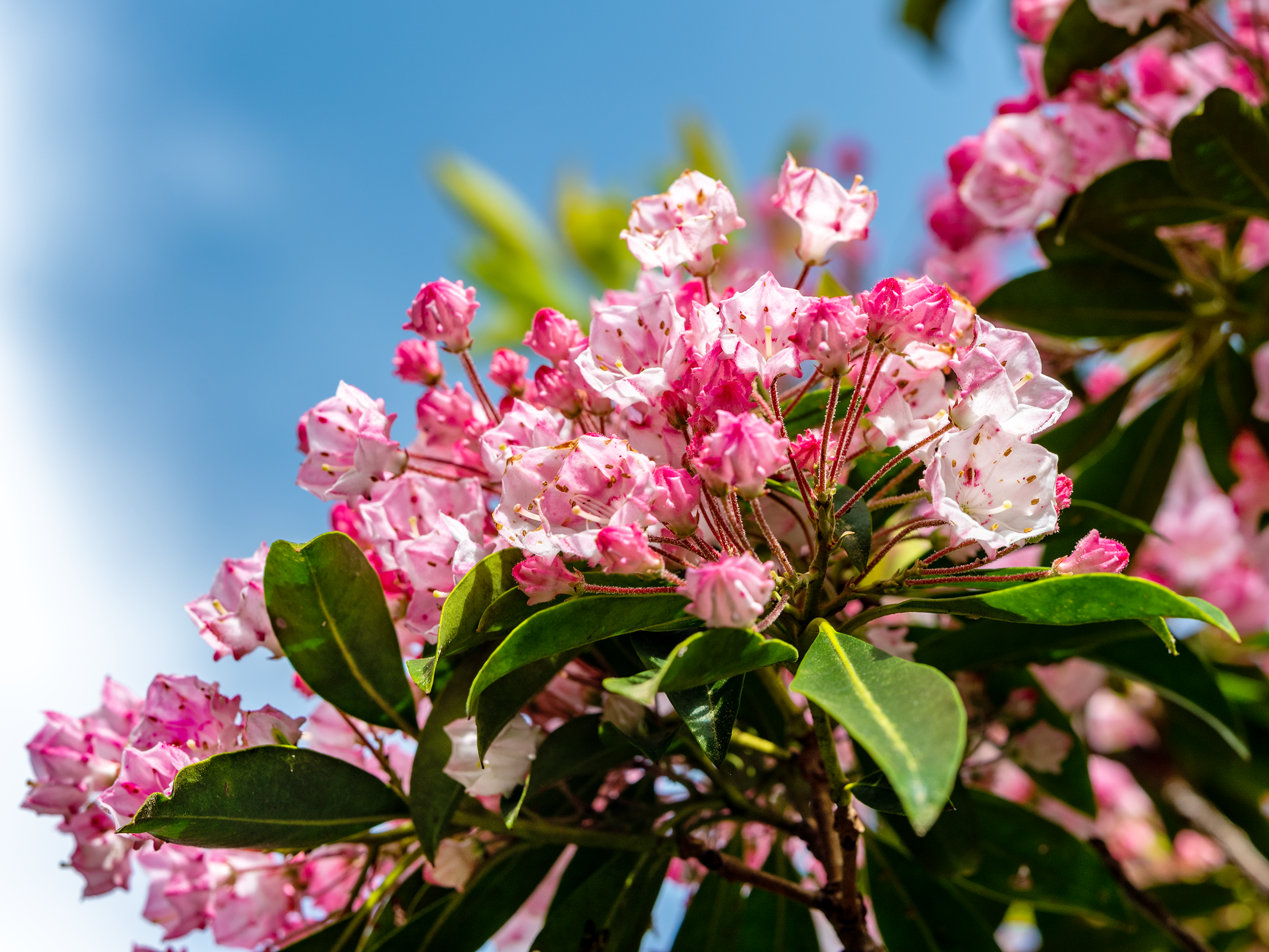 In early June, the Catawba Rhododendron is blooming, creating a spectacular mountain-sized bouquet of color.