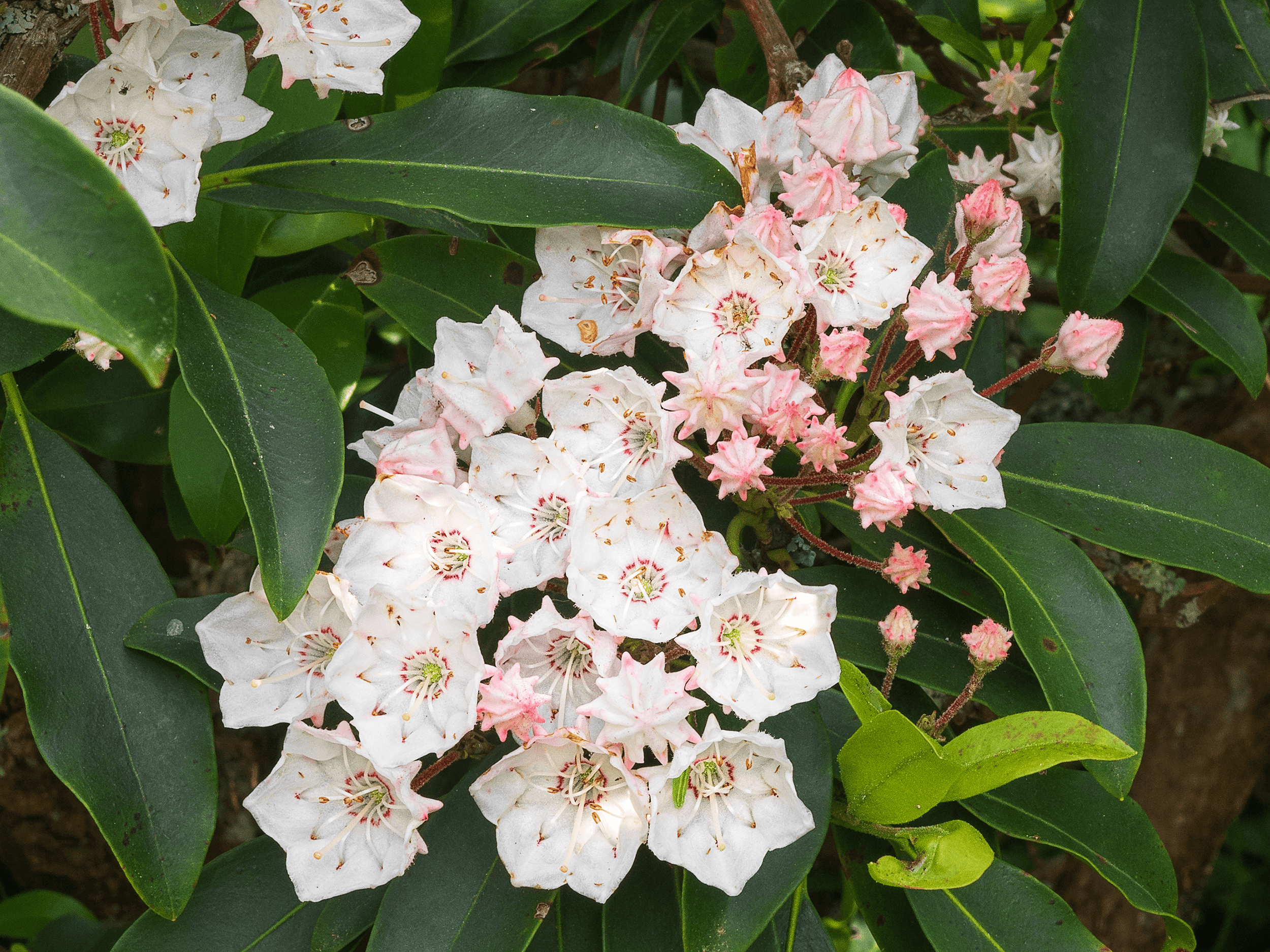"""The  Catawba Rhododendron  is also called """"nature's thermometer."""" When the temperature drops, its leaves curl inward. It is said, at below 20°F (-7°C), the leaves are curled """"as tight as a cigar."""""""