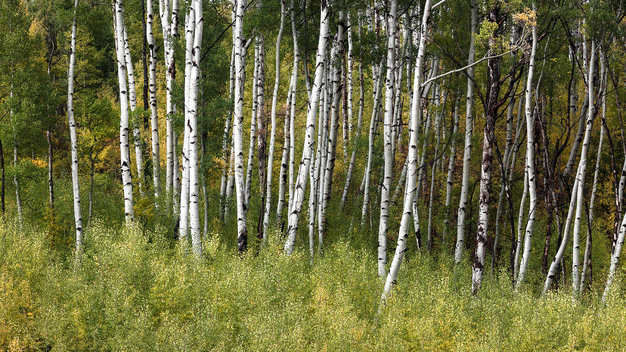 Aspens on McClure Pass - Near Marble, CO