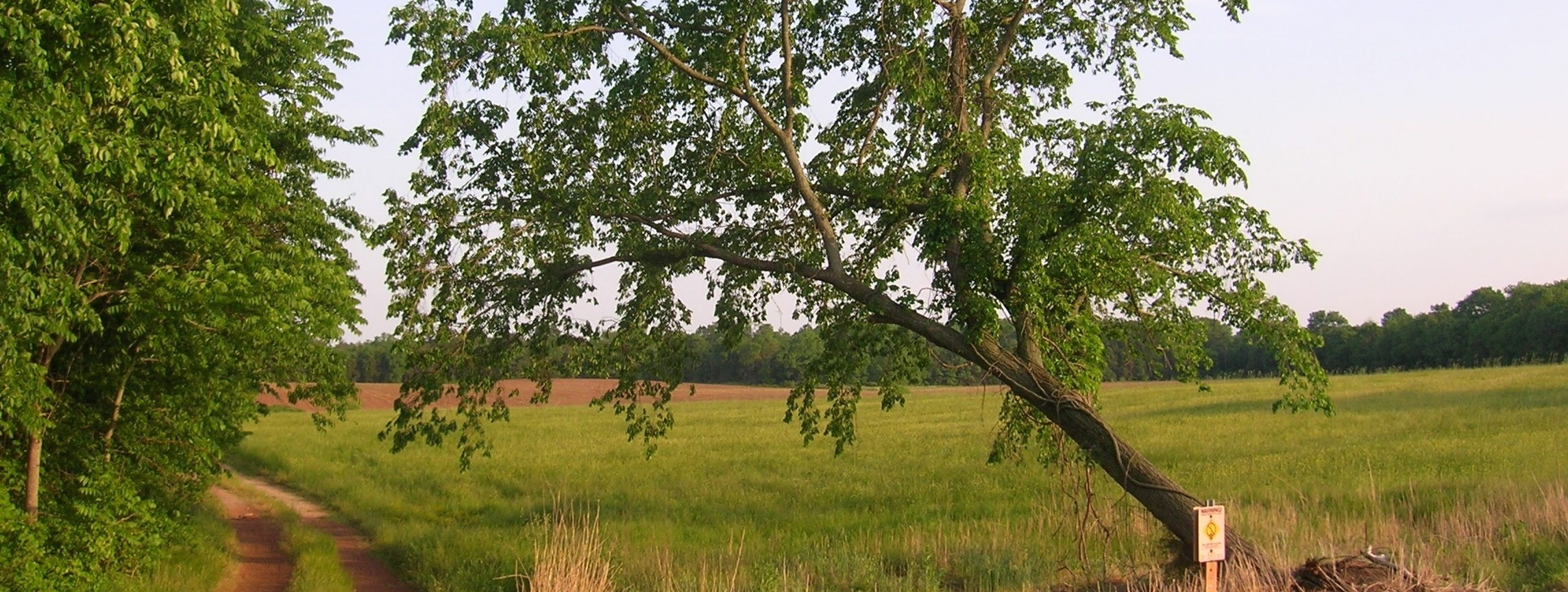 A lopsided tree in the back field of the farm I grew up on, next to the railroad tracks. A dirt driveway runs next to it to the field behind.