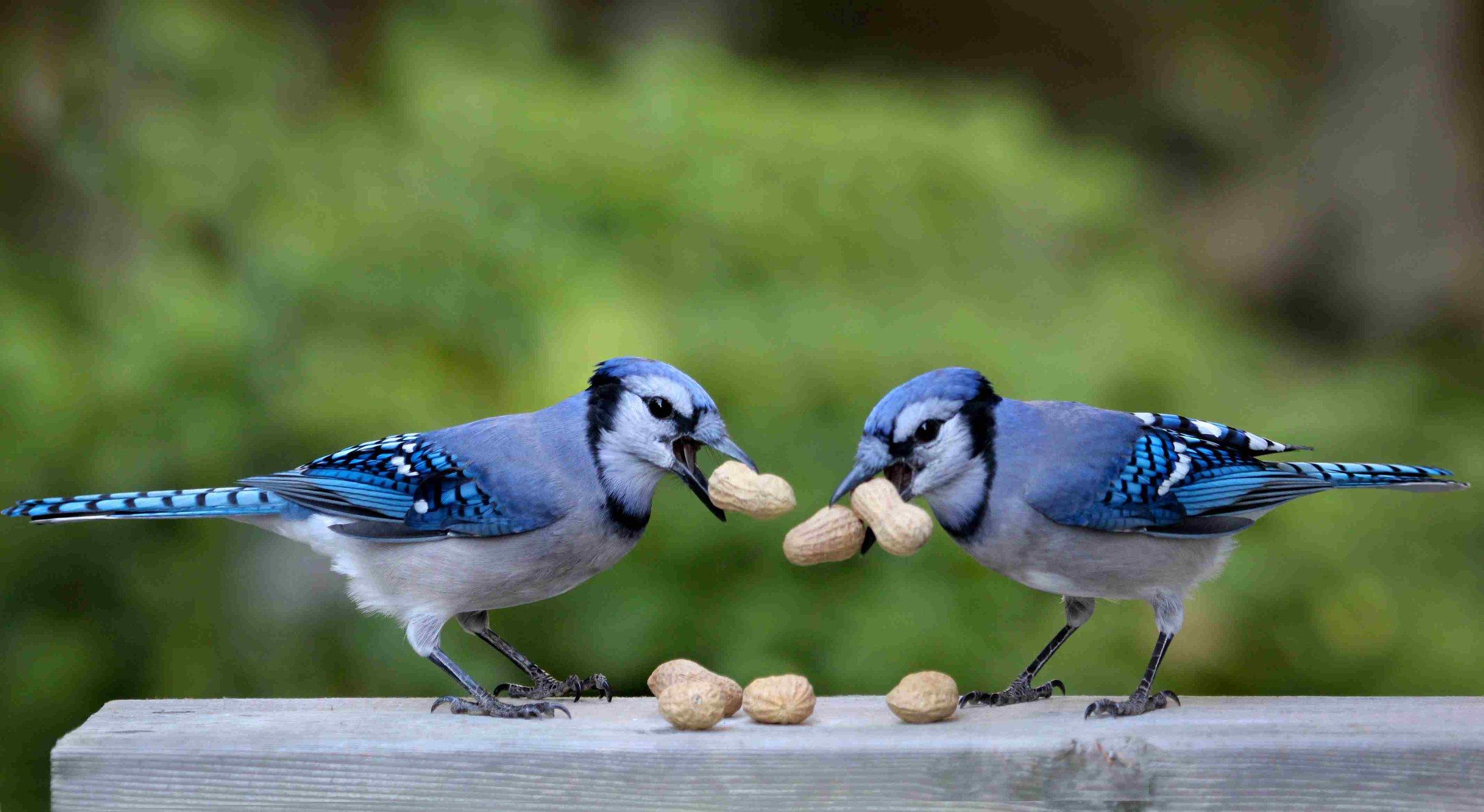 blue jay eating peanut.jpg
