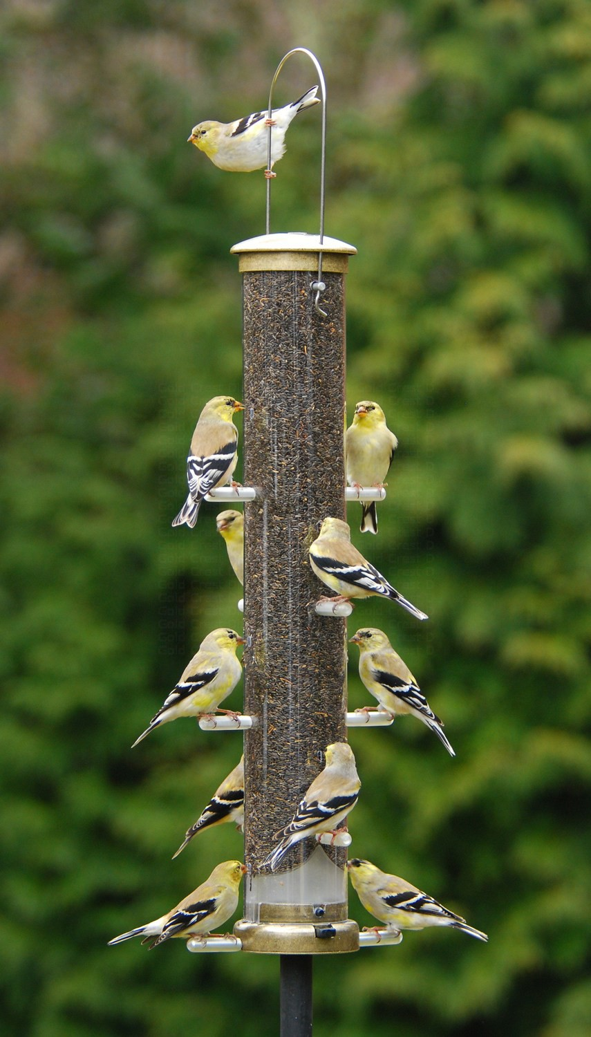 Nyjer Thistle Tube Feeder (Goldfinches, House Finches, Pine Siskins, Red Polls, Chickadees,)
