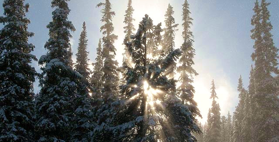 Sun through Pines