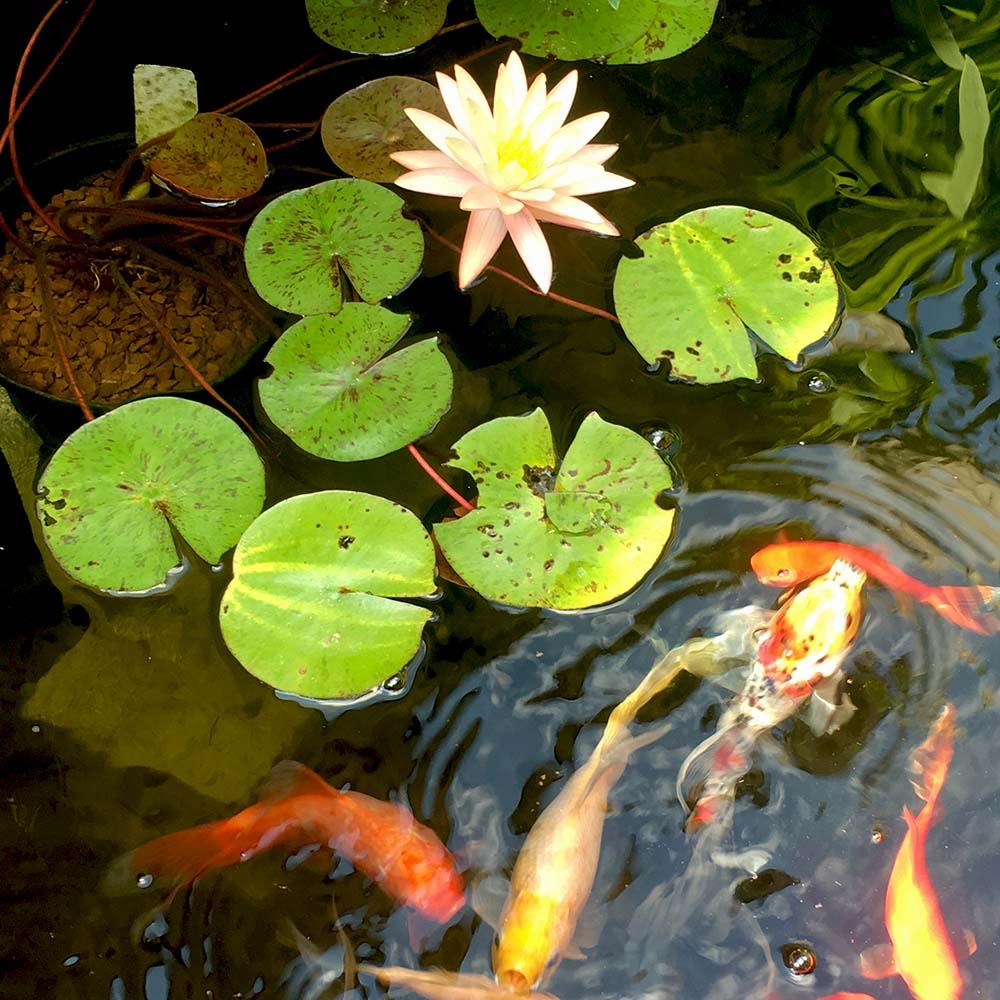 koi & goldfish in garden pond