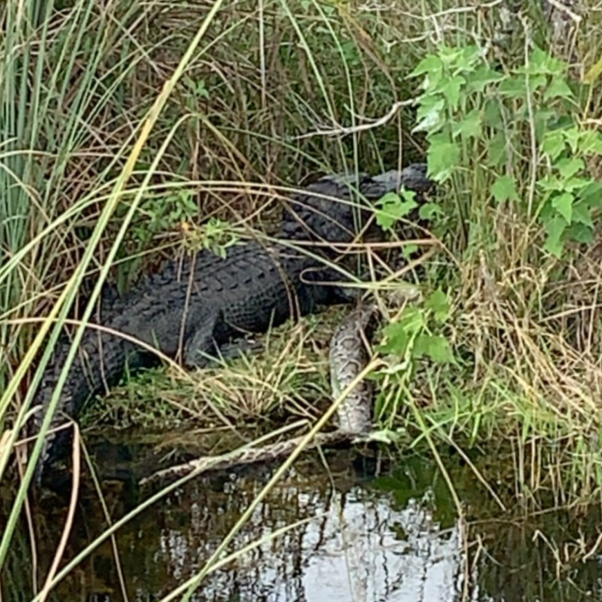 A very low quality photo of an American alligator enjoying a very large exotic meal.
