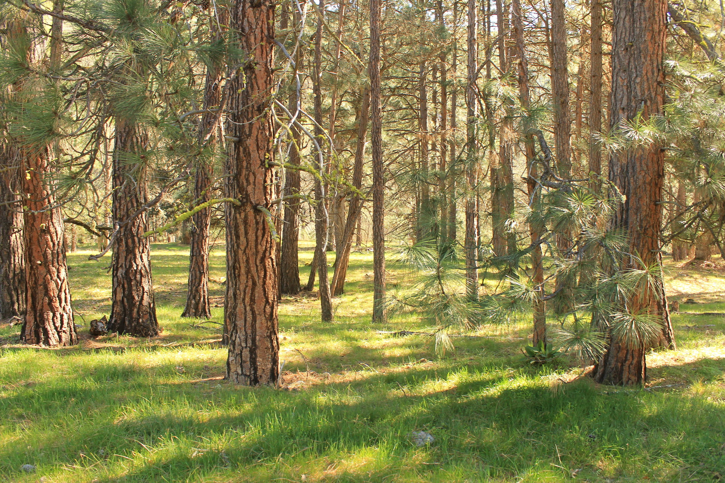 Grove of Ponderosa pines along the Klickitat River.