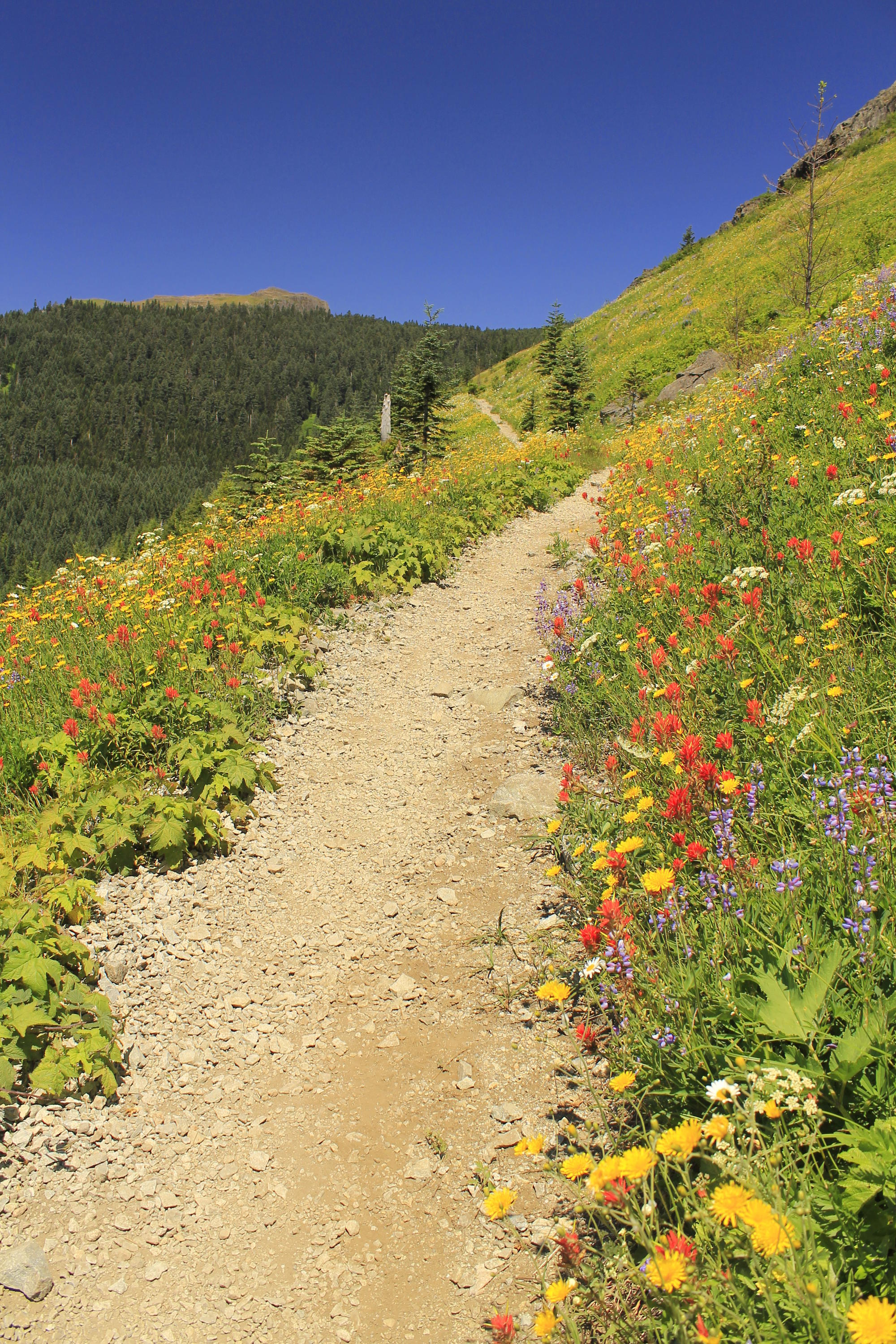 Flowers line the Grouse Vista Trail on Silver Star Mountain.