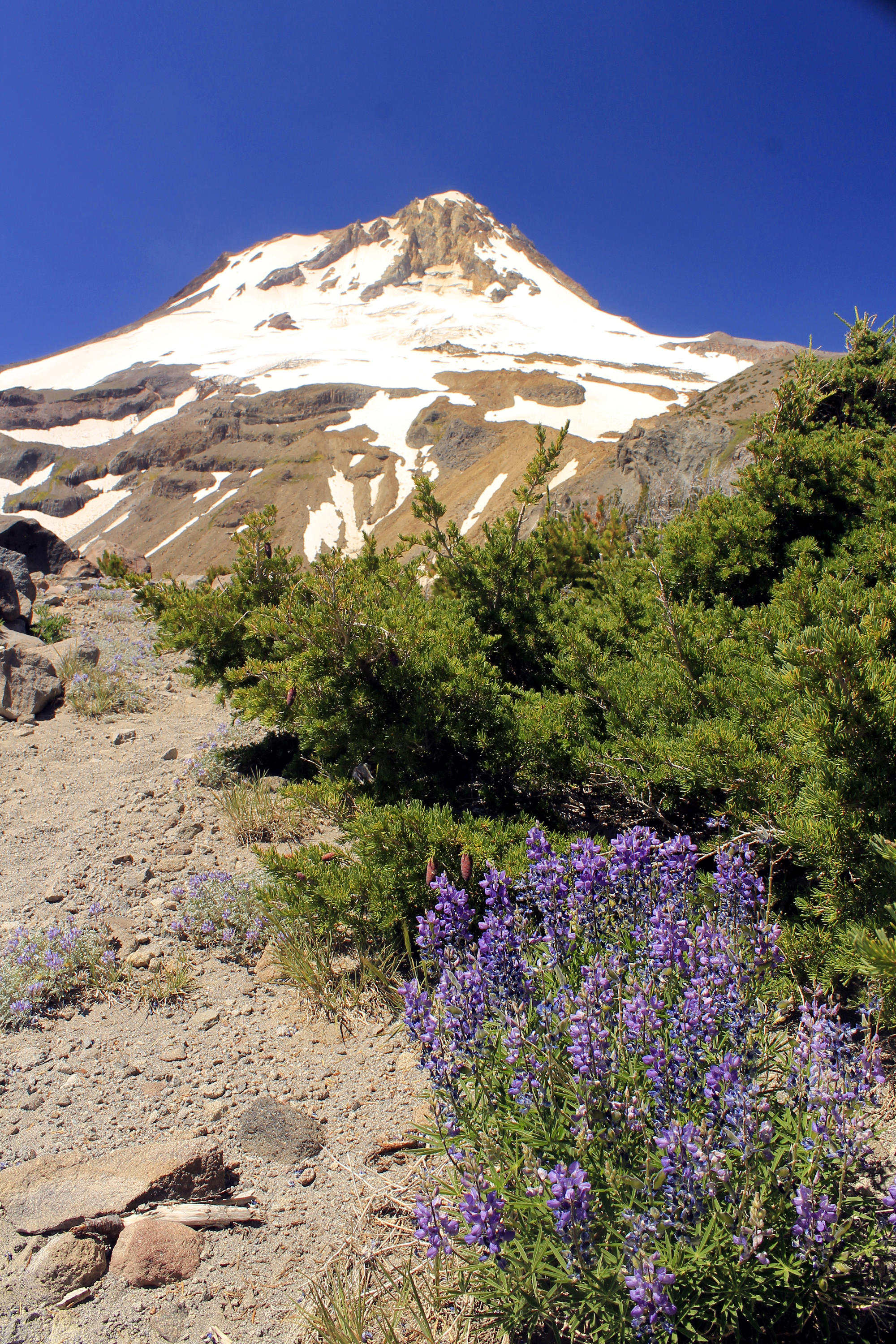 Lupine lines the Timberline Trail on the slopes of Gnarl Ridge. This is one of the most spectacular spots on Mount Hood, and late July is the ideal time to do this hike.