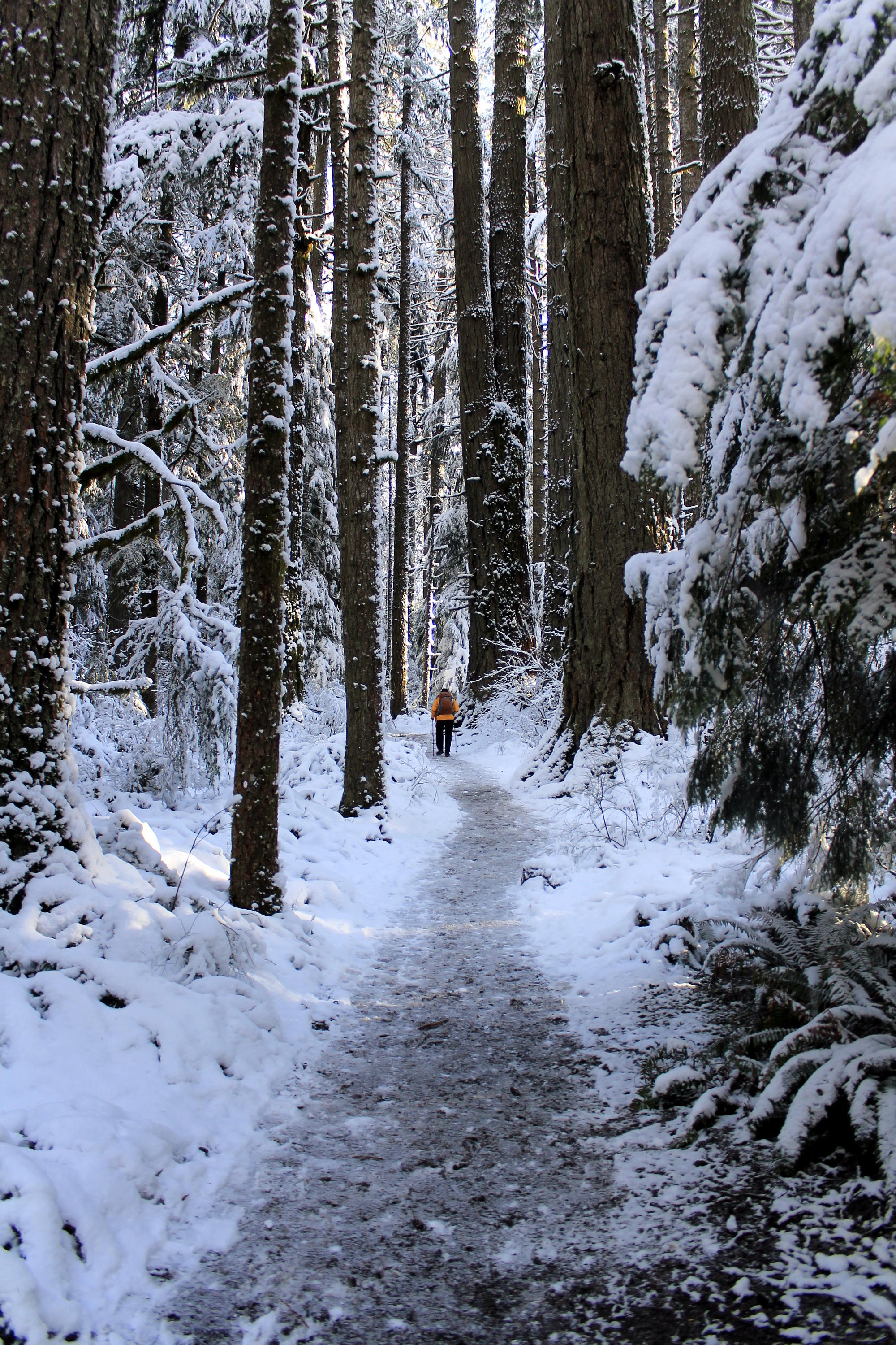Hiking in Silver Falls State Park in three inches of fresh snow, January 2017. Silver Falls in the snow is one of the great experiences a hiker can have.