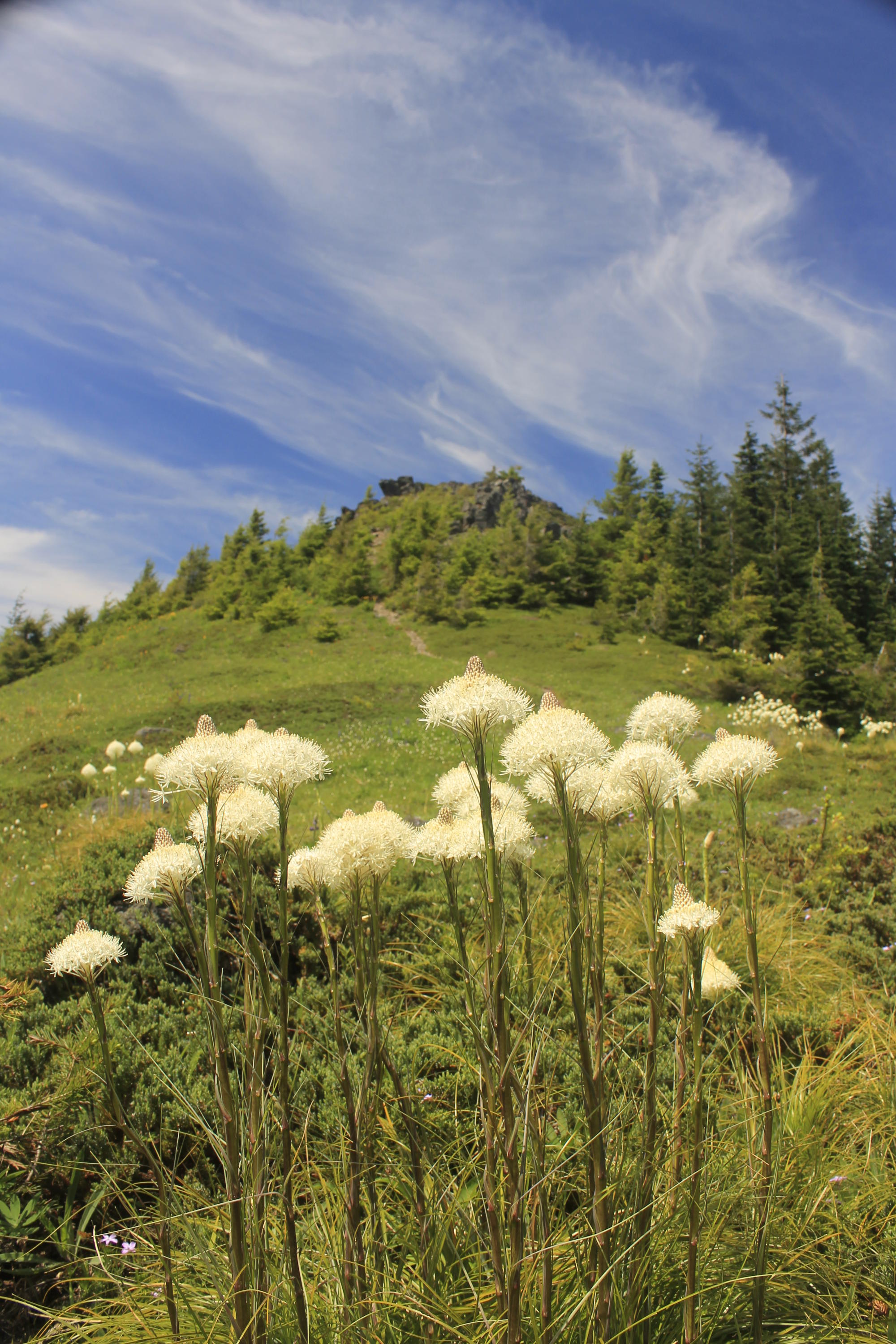 Beargrass on the slopes of Rooster Rock.