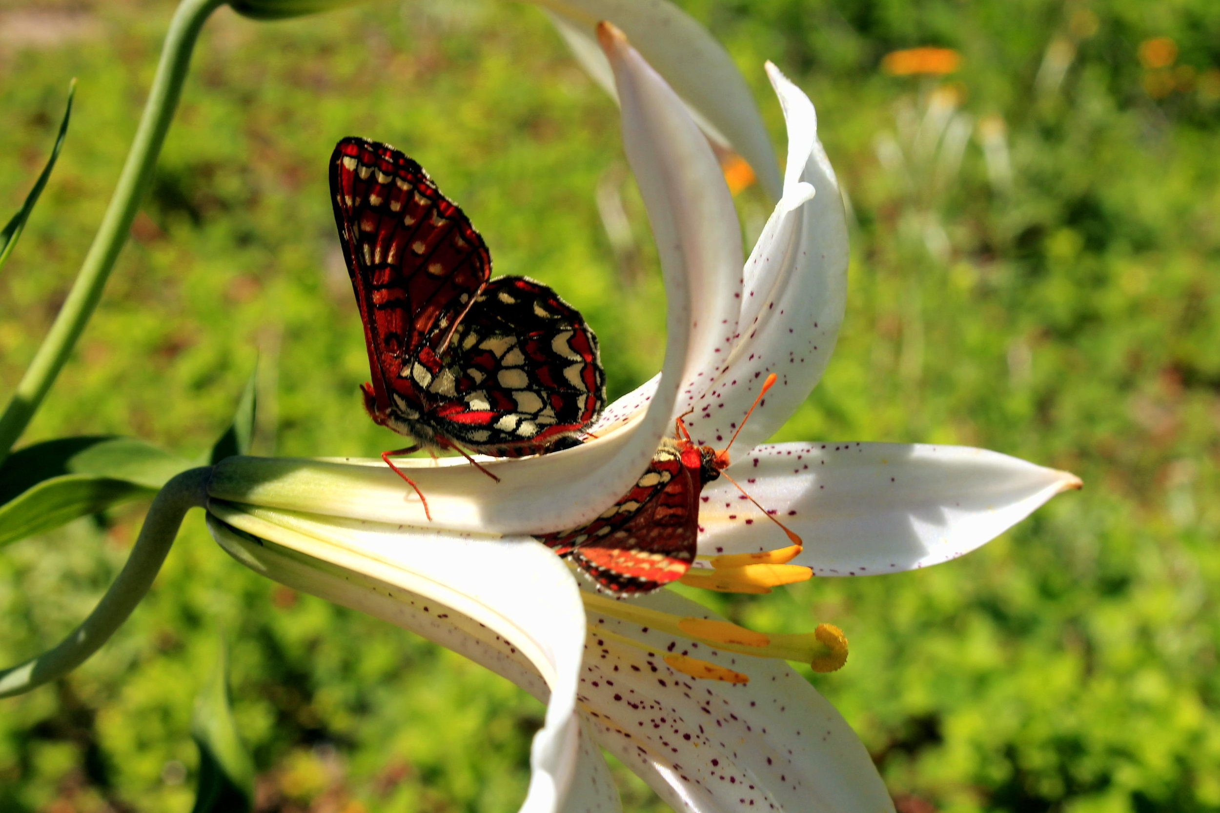 Butterflies on a Cascade lily on the slopes of Bachelor Mountain, July 2014.