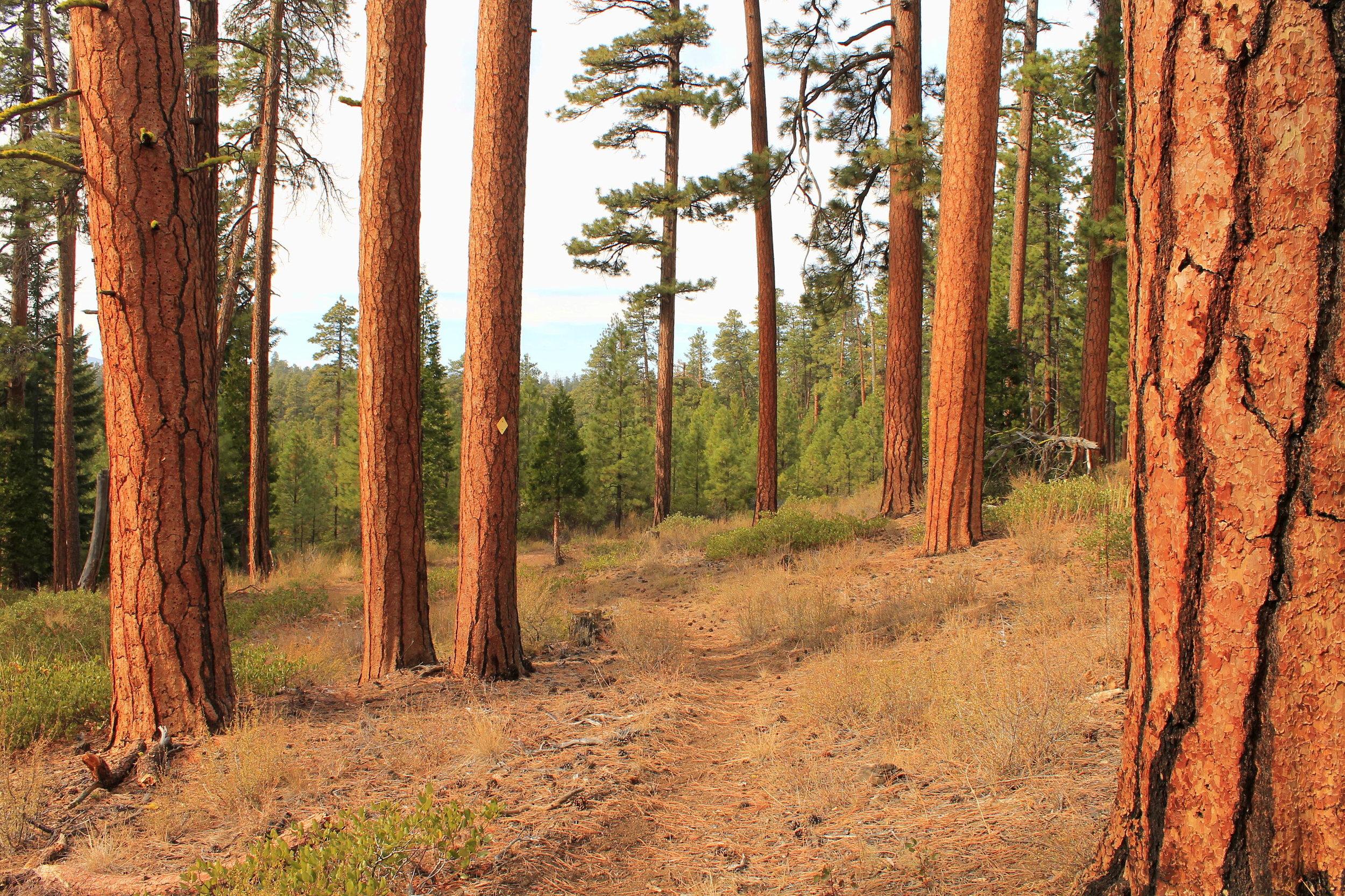 Ponderosa pines on Green Ridge.