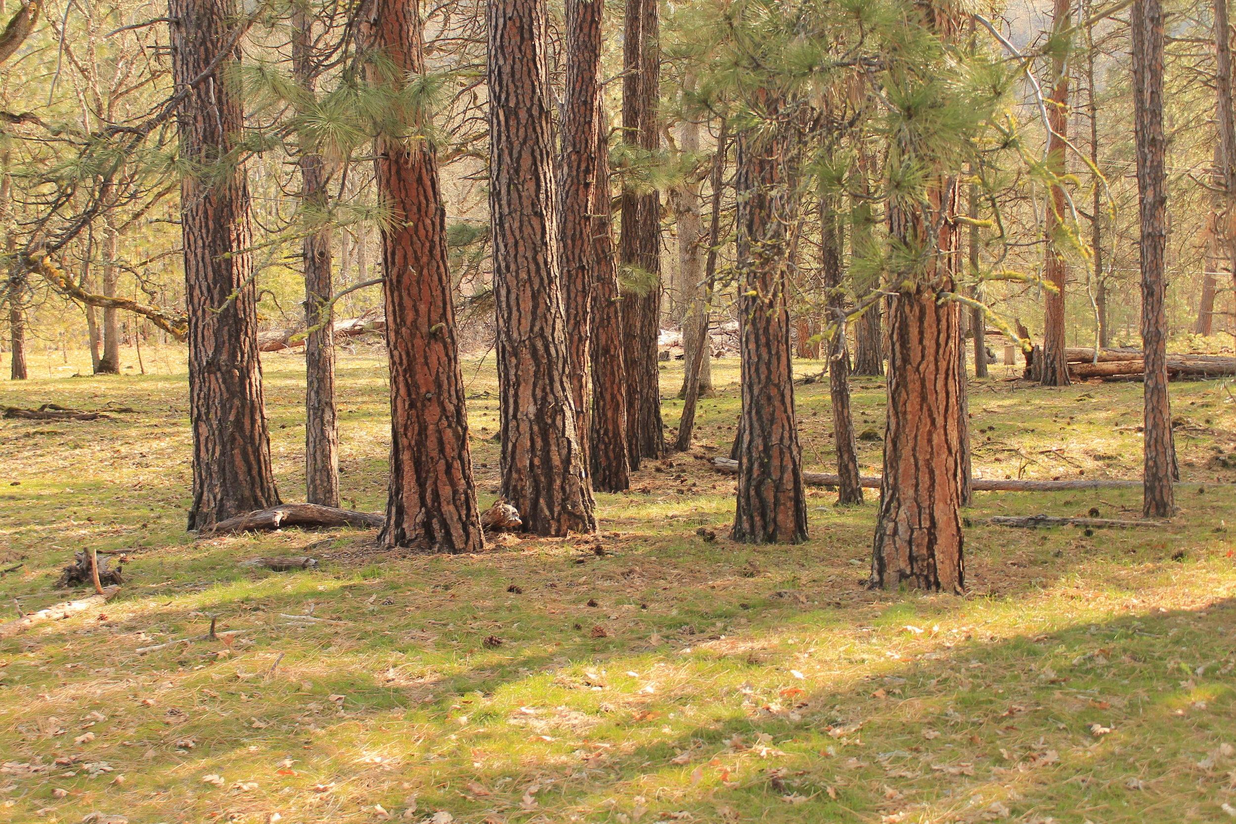 Ponderosa grove, Klickitat River