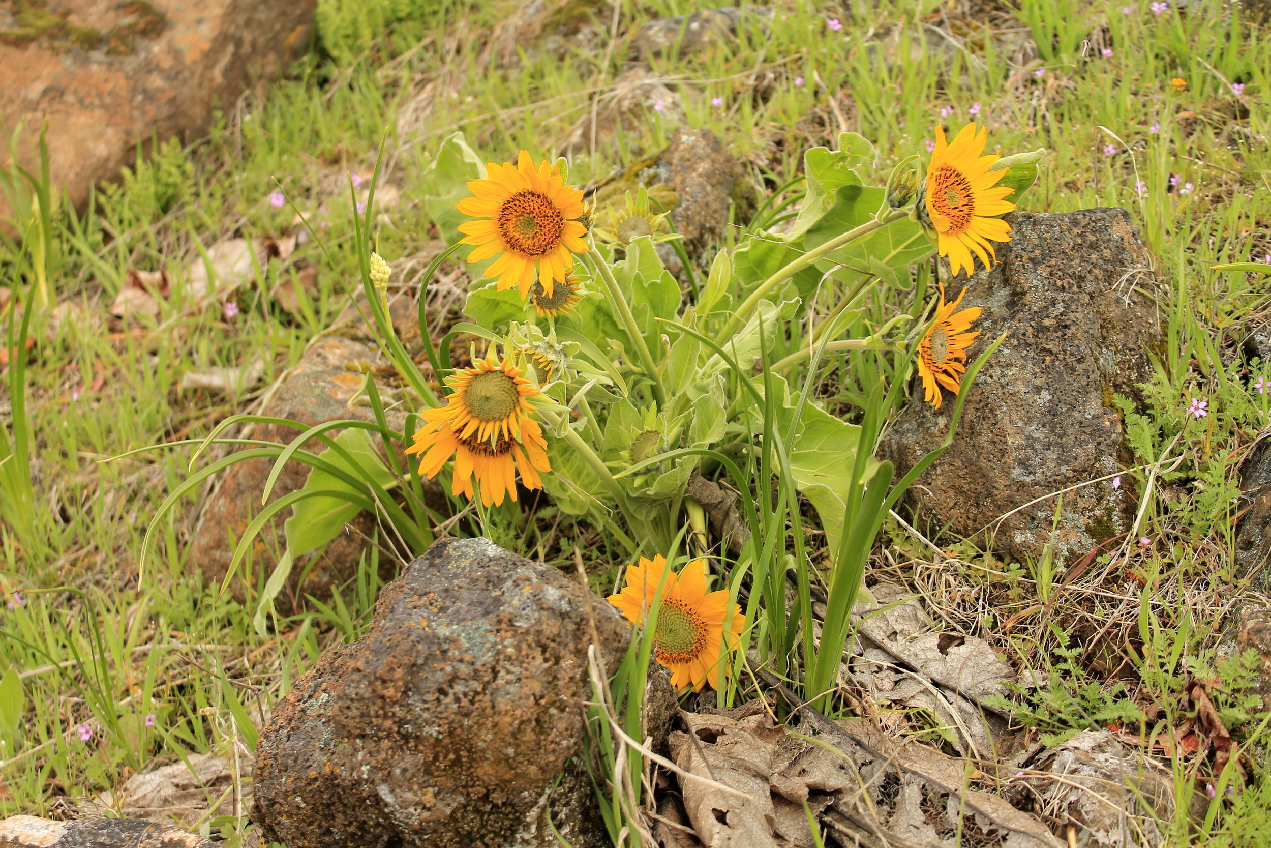 Balsamroot in Columbia Hills State Park.