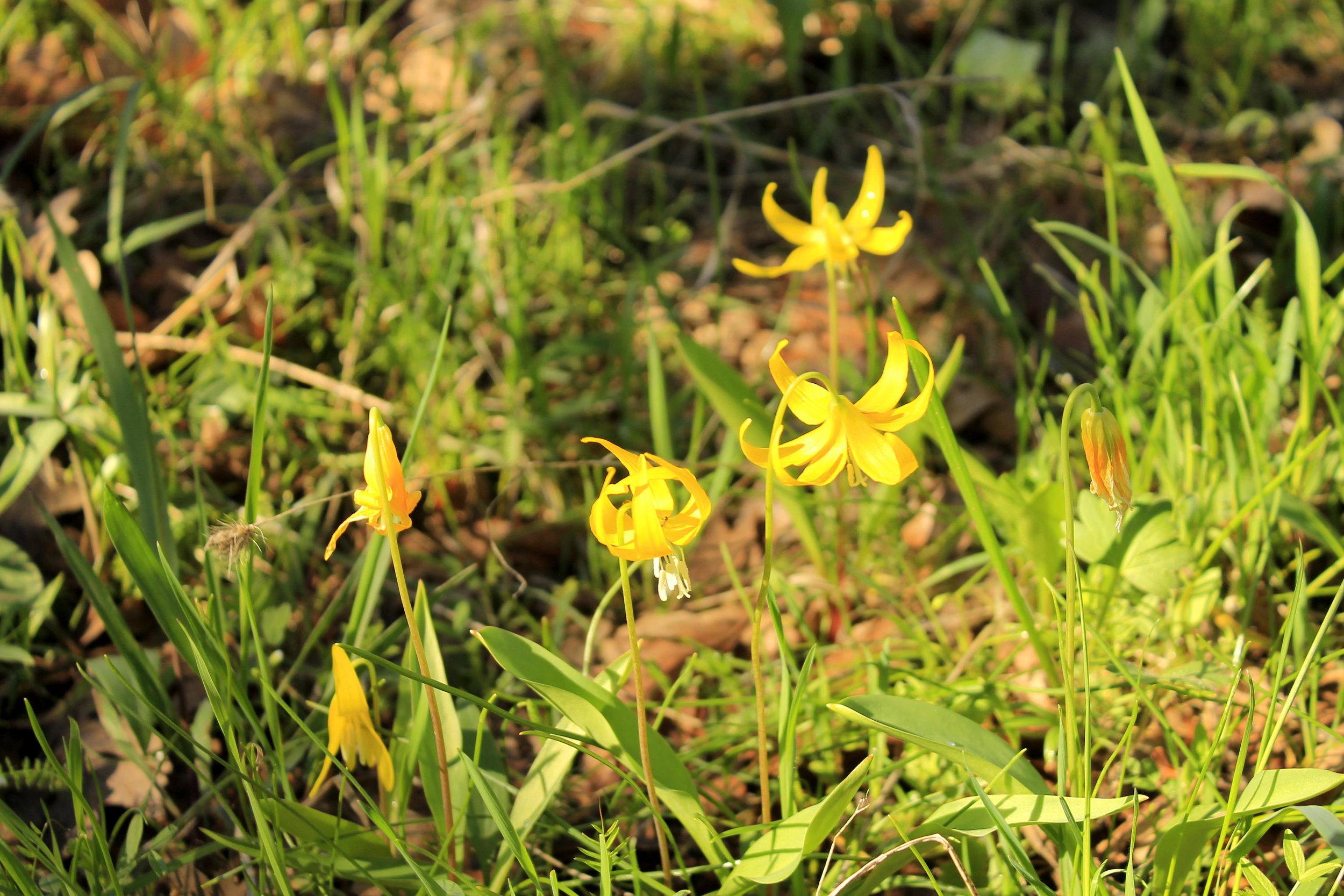 Glacier lilies at Memaloose Hills