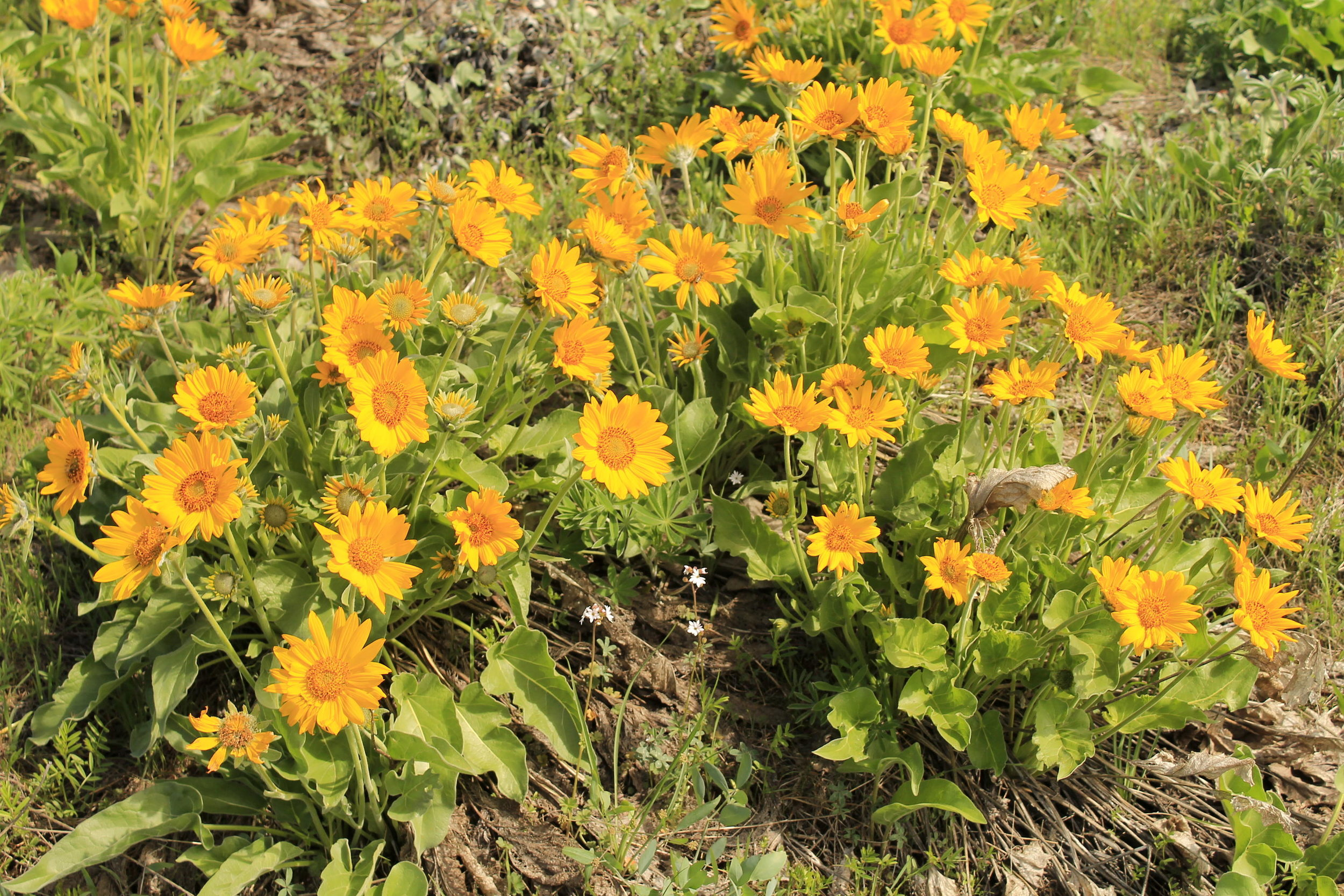 Balsamroot at Mosier Plateau
