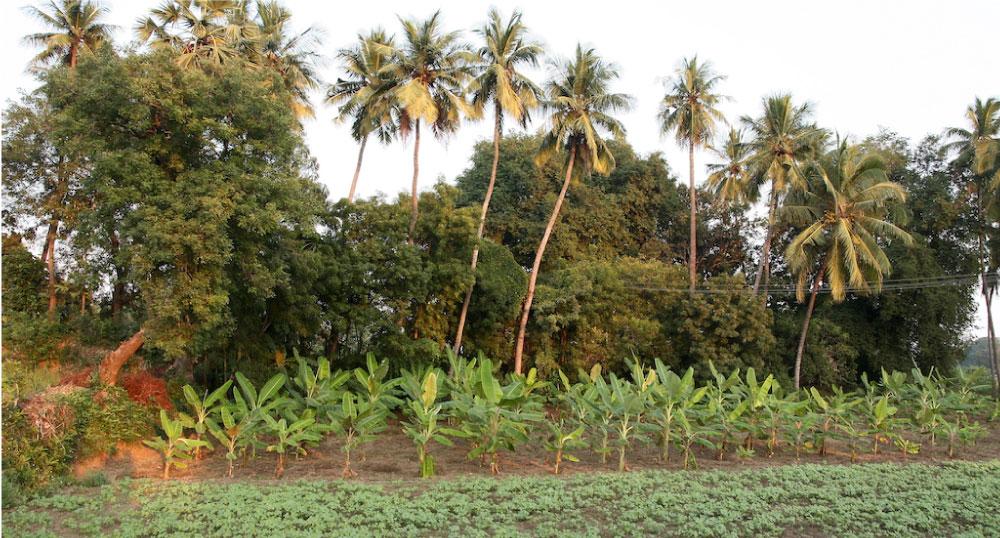 Agroforestry farm, Pudukottai, Tamil Nadu, India  ©TheWire