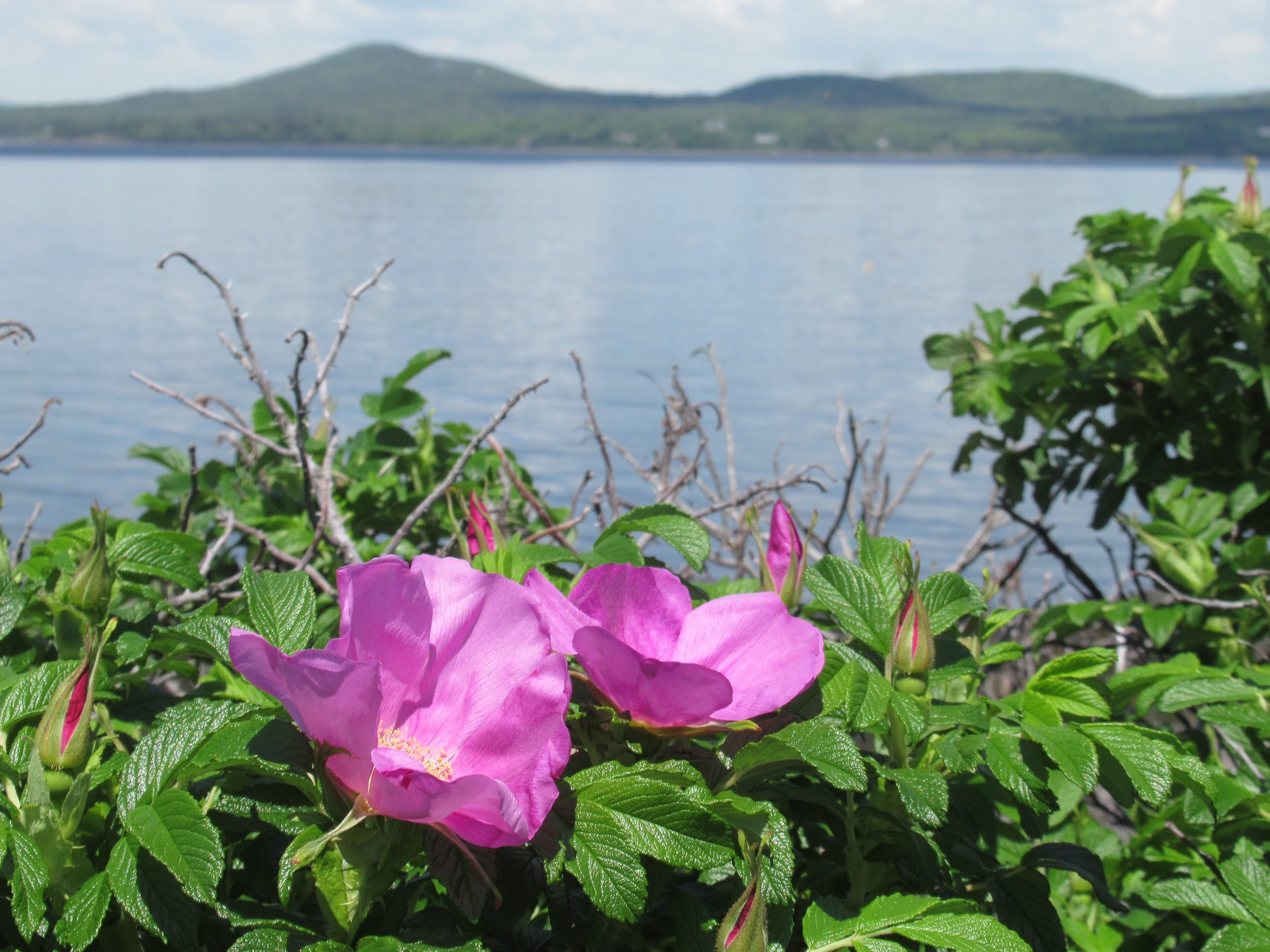 Looking back at the Camden Hills from Isleboro in June means Pink and white roses are in full bloom.