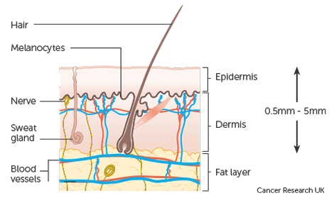 Diagram-showing-the-structure-of-the-skin_2.png