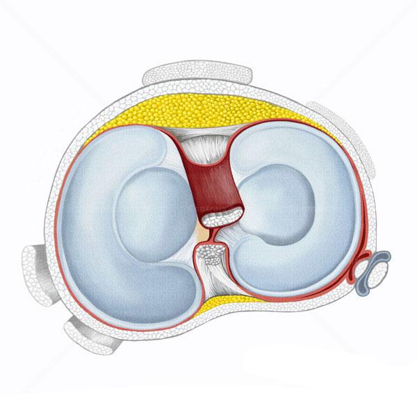 meniscos-articulacoes.pt.jpg