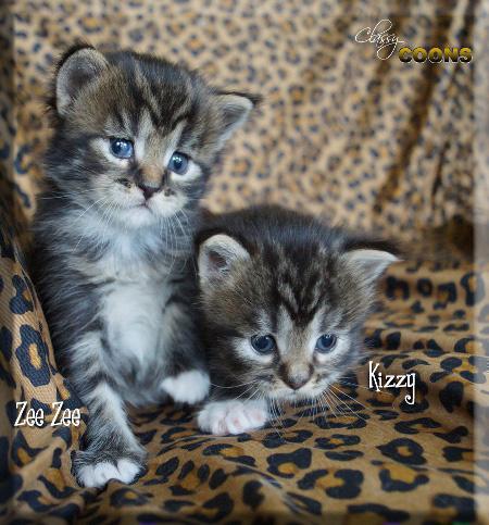 BBBClassyCoonsKittensZeeKiz5218 copy.jpg