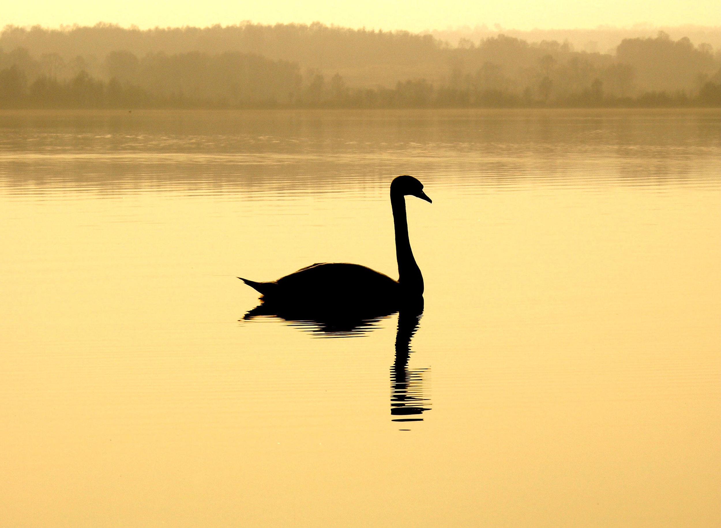 swan golden lake silhouette.jpg
