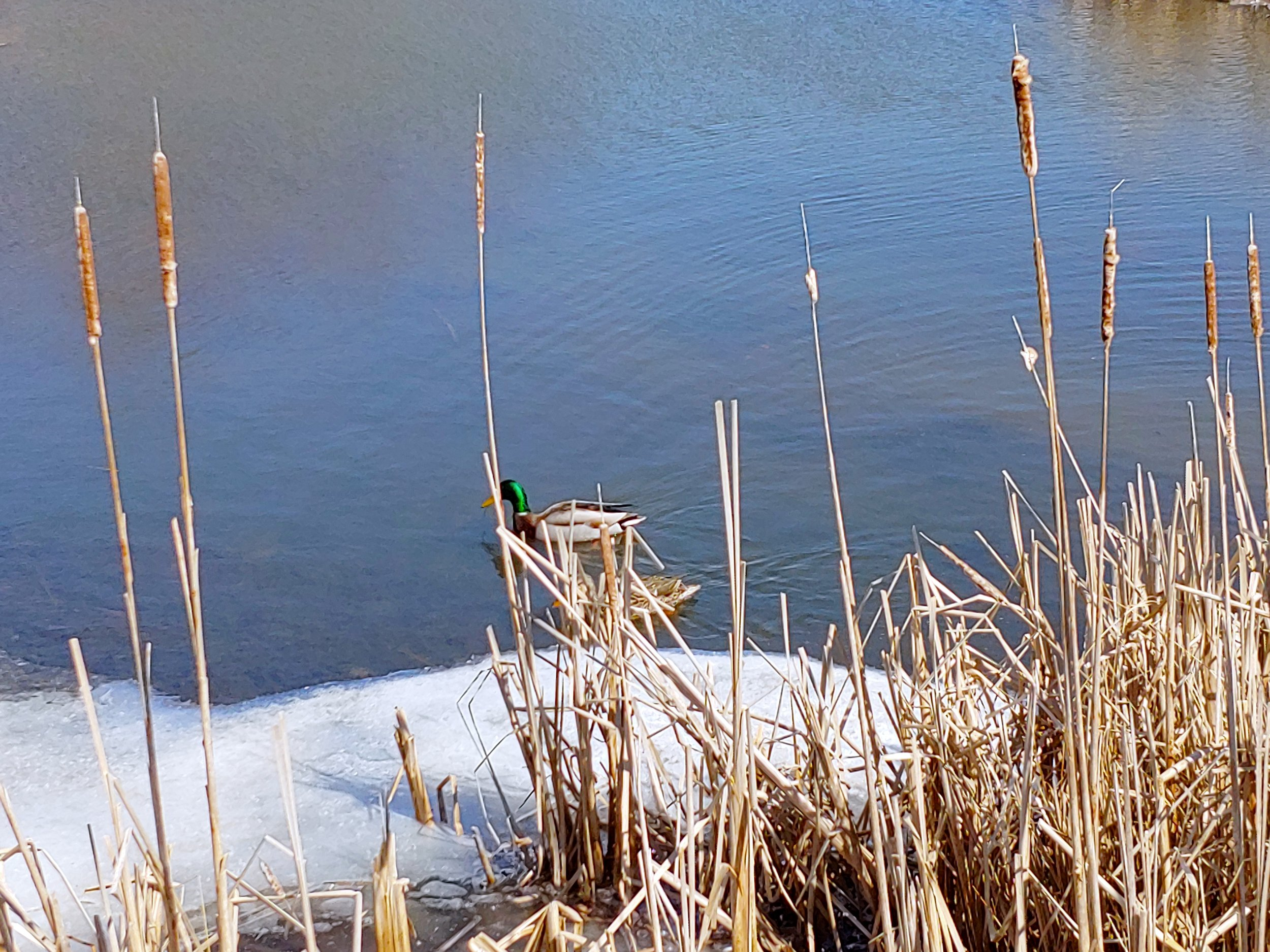 duck and cattails.jpg