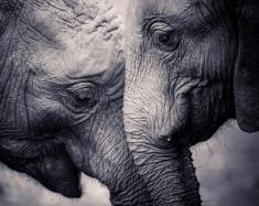 stock-photo-57646544-affection-of-elephants.jpg