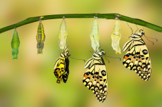 stock-photo-87780177-transformation-of-lime-butterfly.jpg