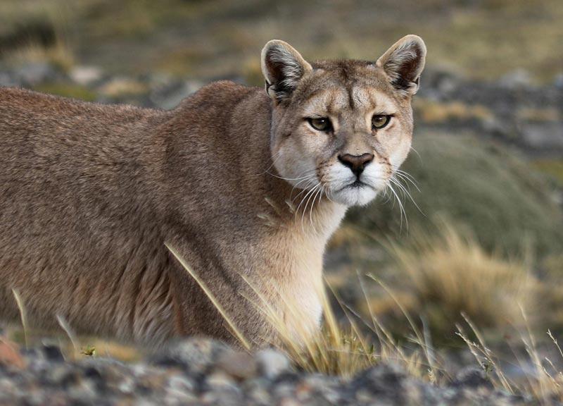 El león de montaña es color canela a diferencia del supuesto león de montaña que algunas personas han reportado visto que es color anaranjado, como lo muestra la foto de un video borroso enviado a las oficinas del DNR.
