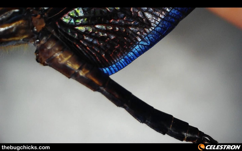 Blue Morpho Dragonfly wing margin Amazon Celestron-bug-chicks.jpg