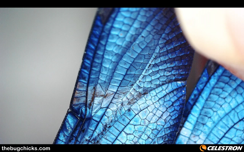 Blue Morpho Dragonfly wings cells Amazon Celestron-bug-chicks.jpg