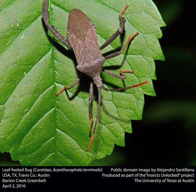 leaf-footed bug-bug chicks-insectsunlocked.jpg