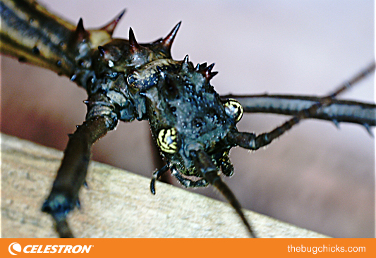Walking-Stick-Celestron-bug-chicks.jpg