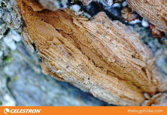 Tree-Bark-Celestron-bug-chicks.jpg