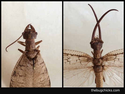 Dobsonfly-Sexual-Dimorphism-bug-chicks.jpg