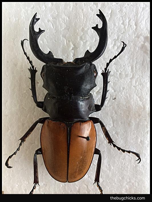Lucanidae-Male-Final-bug-chicks.jpg