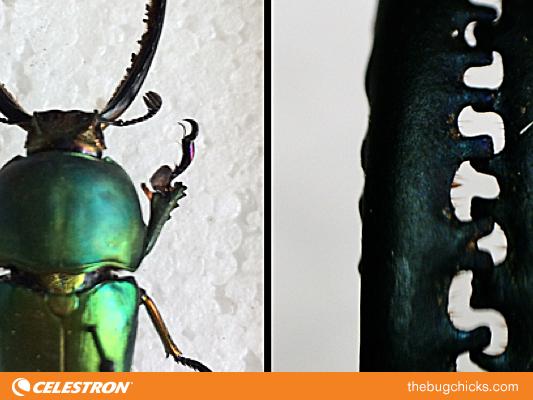 Beetle-mandibles-green-Celestron-bug-chicks.jpg