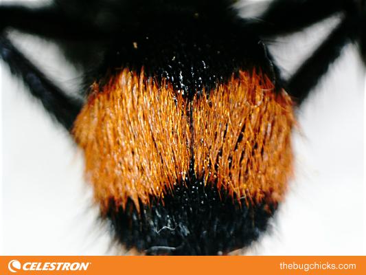 Velvet-Ant-Final-bug-chicks.jpg
