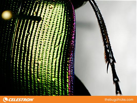 Caterpillar-Hunter-beetle-bug-chicks.jpg
