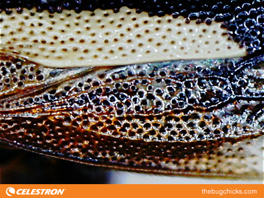treehopper-wing-final-Celestron-bug-chicks.jpg