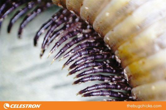Millipede-Legs-bug-chicks.jpg
