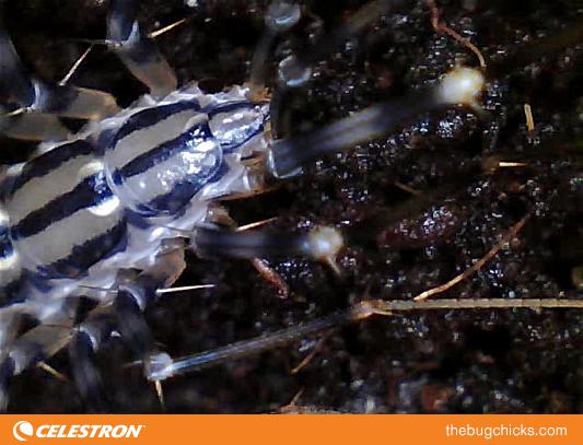 house-centipede-bug-chicks-3.png