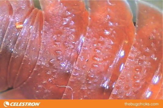 Orange-Dorsal-Isopod-bug-chicks.jpg