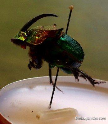 dung-beetle-bug-chicks.jpg