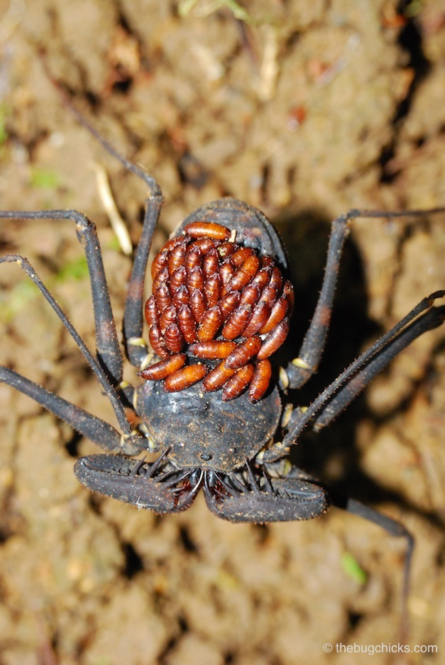 parasitoid-whip-spider-bug-chicks.jpg