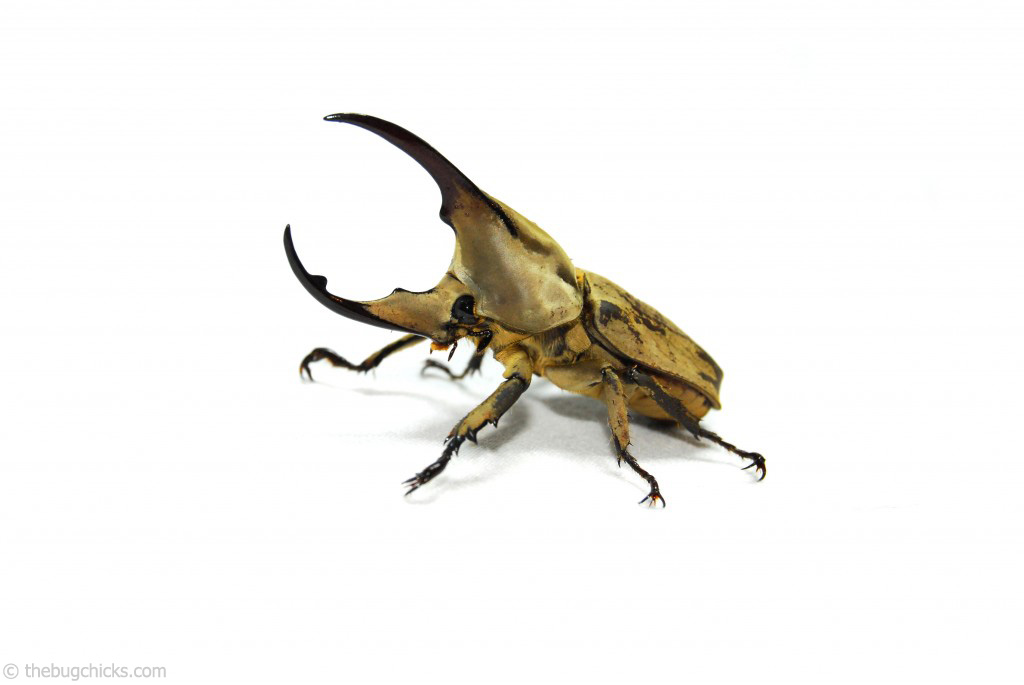 The males of this species have one horn that extends from the head and another that extends from the pronotum.