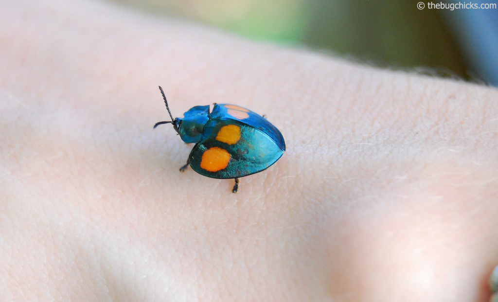 We found this colorful tortoise beetle walking on some banana leaves.